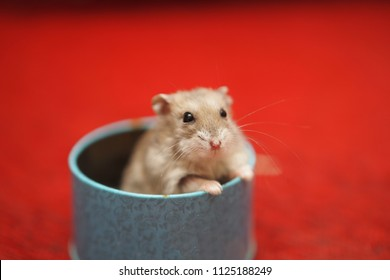 close up little hamster in a bowl,hamster isolated