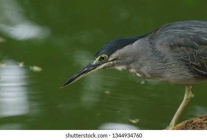 Close up Little Heron (Butorides striata) while stalking it prey