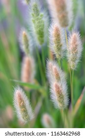 Close up of little wheat-like ornamental grasses with soft focus background.