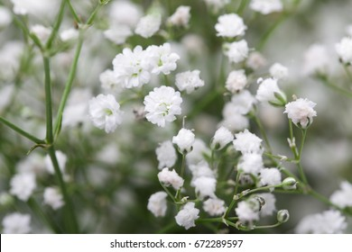 Close up of little white Gypsophila(Baby's-breath) flowers on blur background
