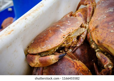 Close up of a live, fresh crab caught at Newlyn Harbour, Cornwall, England.