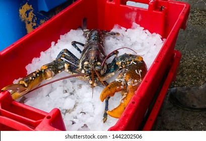 Close up of a live, large, freshly landed lobster (Homarus gammarus)  in holding container. Specimen animal with barnacles on claws. Resting on bed of crushed ice. Mevagissey. England.