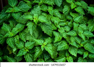 Close up of living vibrant green Pogostemon cablin patchouli plant eaves wet from rain or dew, medicinal plant used in aromatherapy.