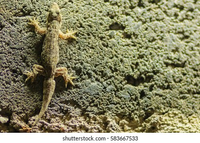 Close up lizard on the brick wall at night. Abstract background brick wall with lizard. Rough Surface of brick wall with lizard