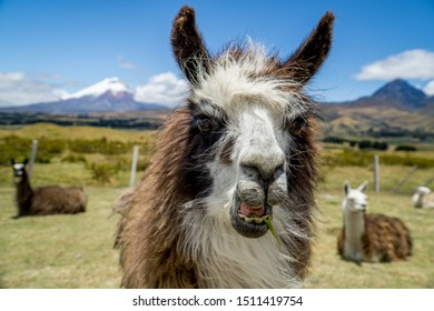 Close up of llama in front of Cotopaxi vulcano in Ecuador