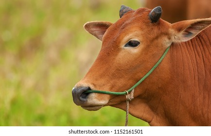Close up of a local cow's at farmer village near a paddy field in Penang, Malaysia.