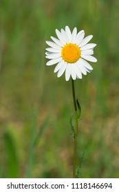 Close up of a lone Ox-eye Daisy growing in the meadow. Carden Alvar Provincial Park, Kawartha Lakes, Ontario, Canada.