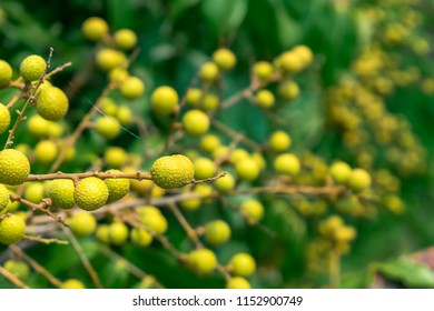 Close up Longan fruit on tree. A photo of bunch of Longan or Dimocarpus longan. Delicious fresh fruit and green leaves on the tree in the sunlight.