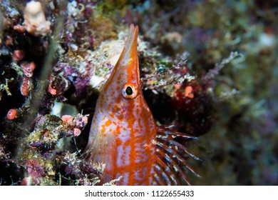 Close up of a  Longnose hawkfish (Oxycirrhites typus) sitting on the reef. Small fish with white and orange body and long snout.