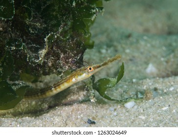 Close up of a Longsnout Pipefish (Syngnathus temminckii) side view of its face.