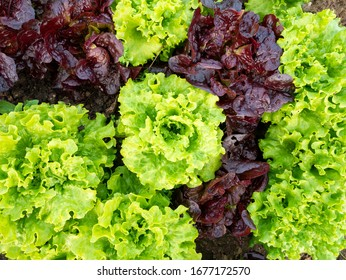 Types Of Lettuce Images Stock Photos Vectors Shutterstock