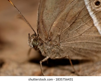 A close up look of Dingy Bushbrown Butterfly. Mycalesis Perseus.