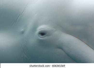 Up close look at the eye of a white whale underwater.