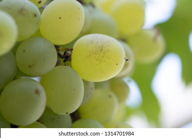 close look on grapes