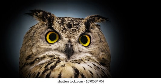 A close look of the yellow eyes of a horned owl on a panoramic dark background.