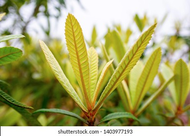 Close up the loquat leaf