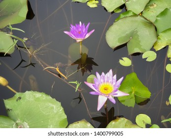 Close up lotus with leaves
