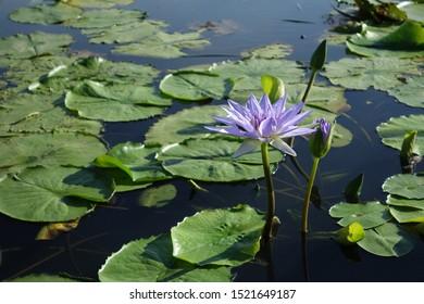 close up lotus in water