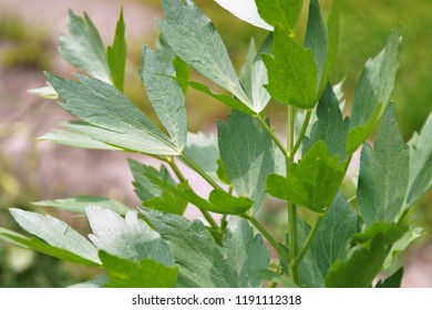 Close up of lovage leaves, lovage herb growing in the garden