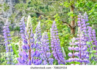 Close up of lovely wild lupines on a norwegian countryside