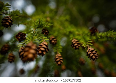 Close up and low angle of Tsuga baby tiny small pinecones hanging off the small, soft needle branches of a Eastern hemlock pine coniferous tree.