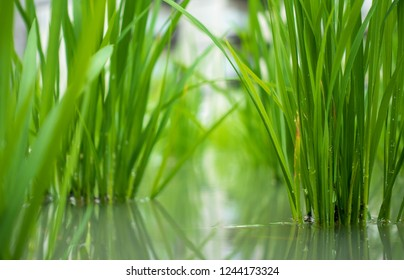 Close up low angle view of lush green rice shoots in flooded field