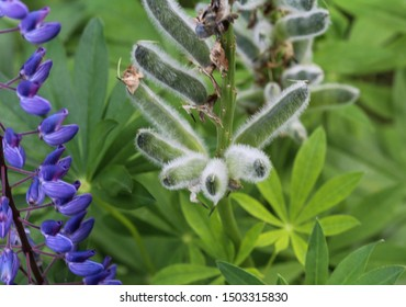 Close up of Lupinus polyphyllus flower, known as big-leaved lupine, many-leaved lupine or, garden lupin