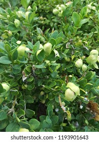 A close up of a lusciously green hedge shrub with light green seeds pod flowers.