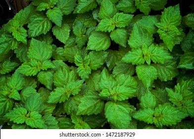 Close up of lush vibrant green Pogostemon cablin patchouli plant eaves wet from rain or dew, medicinal plant used in aromatherapy.