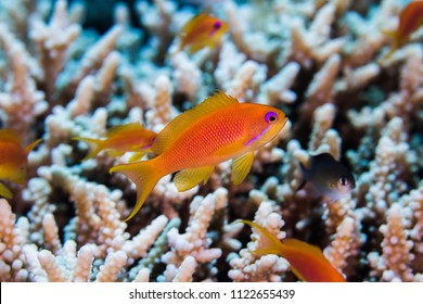 Close up of a Lyretail anthia female (Pseudanthias squamipinnis) with hard coral in the background, small fish with bright orange body.