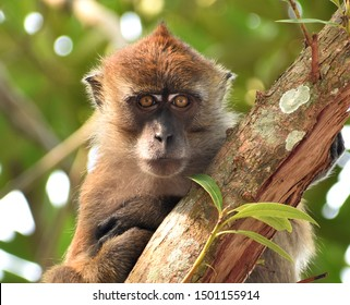 Close up of a macaque monkey staring at the camera