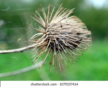 Close up macro of Arctium burdock burs showing minute hooks which attach seeds to fur of passing animals.