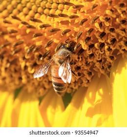 Close up macro bee working on sunflower