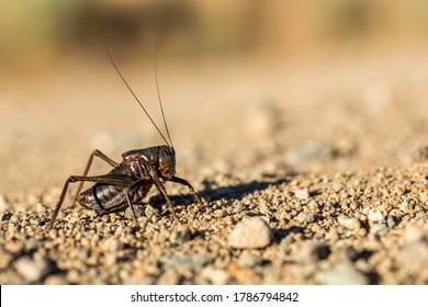 Up close macro black mormon cricket on sandy desert ground