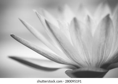 Close up macro black and white beautiful lotus