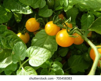 Close up macro of bunch of yellow ripe currant tomato fruit on plant.