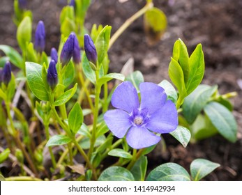 Close up macro of common dwarf periwinkle plant, Vinca minor. Delicate and bright blue flowers of periwinkle in sunny spring day. Selective focus, bokeh background