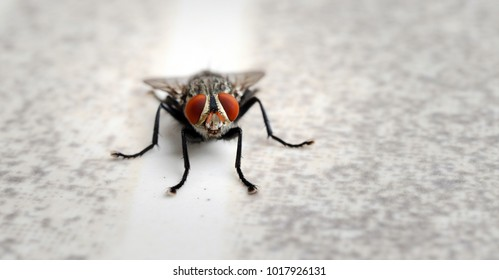 close up macro of common fly or housefly