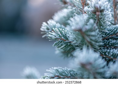 Close up (macro) of a Coniferous covered with hoarfrost early in the morning. Selective focus, narrow depth of field with cooler tones.