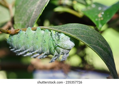 close up macro head of big butterfly worm , worm eating leave on tree, green caterpillar on tree,