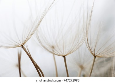 Close up macro image of dandelion seed heads with delicate lace-like patterns, on the Greek island of Kefalonia.