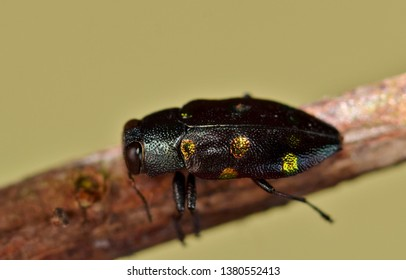 Close macro image of a Jewel beetle, or Gold Wood-Borer as it is also known. Photo taken in Houston, TX.