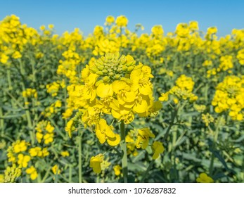 close up macro of one rapeseed flower head in amongst a field of yellow rapeseed flowers with blue sky