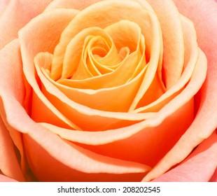 Close up macro of a peach rose