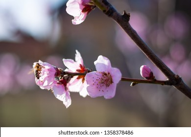 Close up macro phot of beautiful tiny flowers with a little bee on the bough of a peach tree.