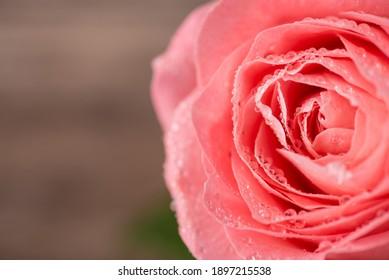Close up macro photo image of beautiful light color rose with rain drops