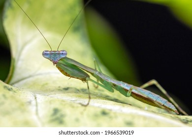 Close up macro photography of a L3 instar, Madagascan Marbled Praying Mantis nymph.