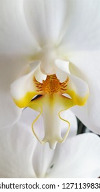 A close up or macro photography of the white phalaenopsis orchid, focusing on purity and its center yellow stamen.