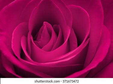 Close up macro of a pink rose