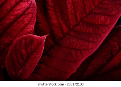 A close up macro of poinsettia plant leaves.  The plant is most commonly used for Christmas displays and themes.